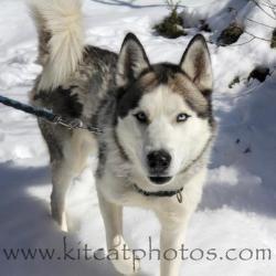 Blue Is An Adoptable Siberian Husky Dog In Fitchburg Ma Meet