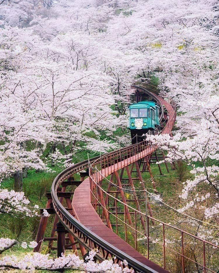 Fukushima Japan Cherry Blossoms Japan Travel Photography Japan Travel Cherry Blossom Japan