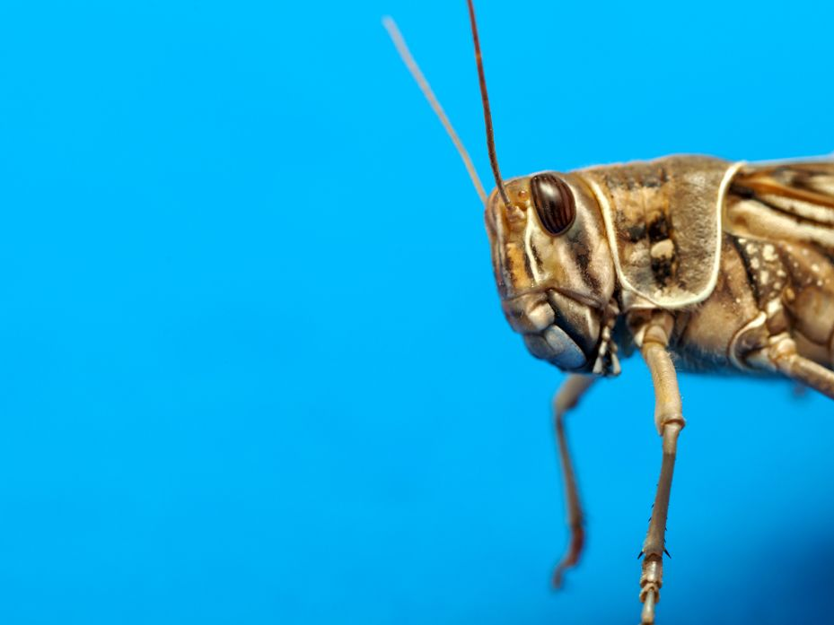 We Ll All Eat Grasshoppers Once We Know How To Raise Them Edible Insects Eat Edible Bugs