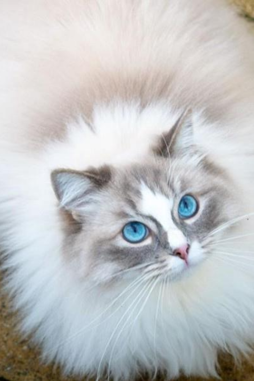 Characteristics of Persian cats in 2020 Best cat breeds