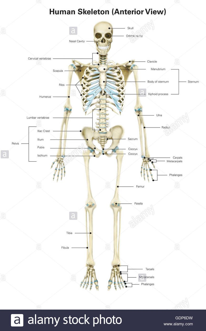 Human Skeleton Pictures With Labels Human Anatomy Study Skeletal