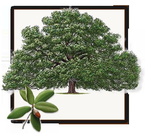 Live Oak Tree Dallas Fannin Tree Farm Oak Tree Drawings Oak Trees Landscaping Live Oak Trees