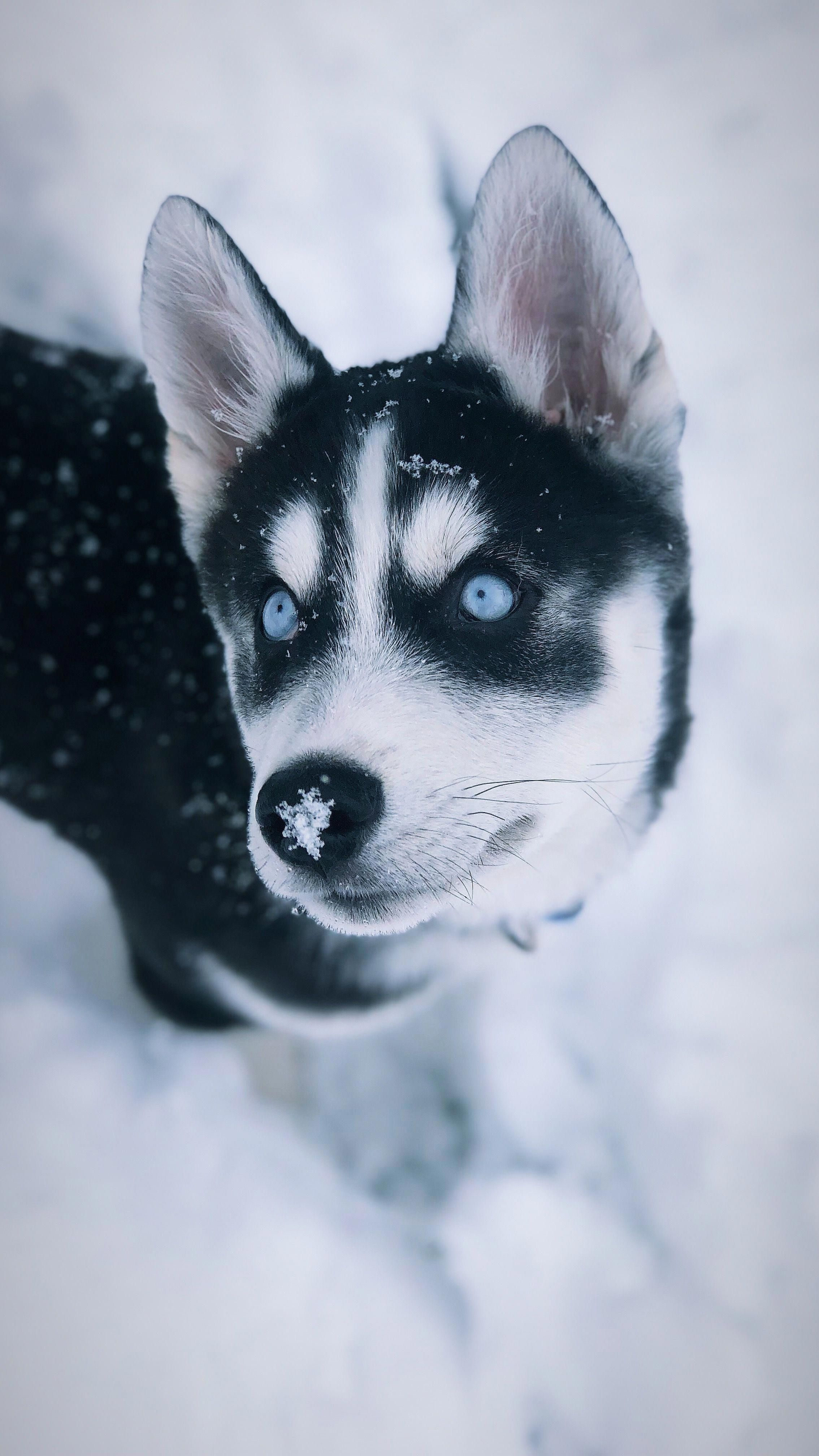 Everything About Siberian Husky Puppy Exercise Needs