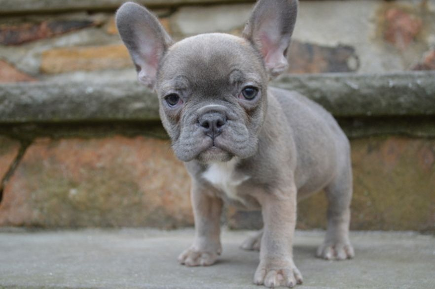 Pin By Jaime Entwistle On Frenchies French Bulldog Puppies