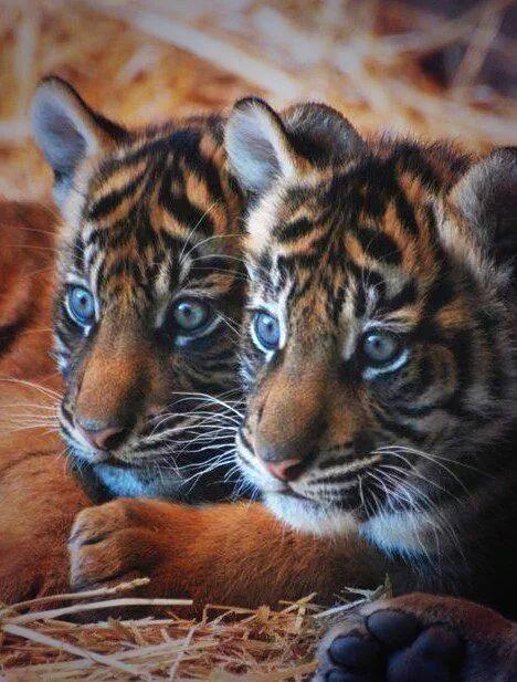 Pin On Tiger Cubs