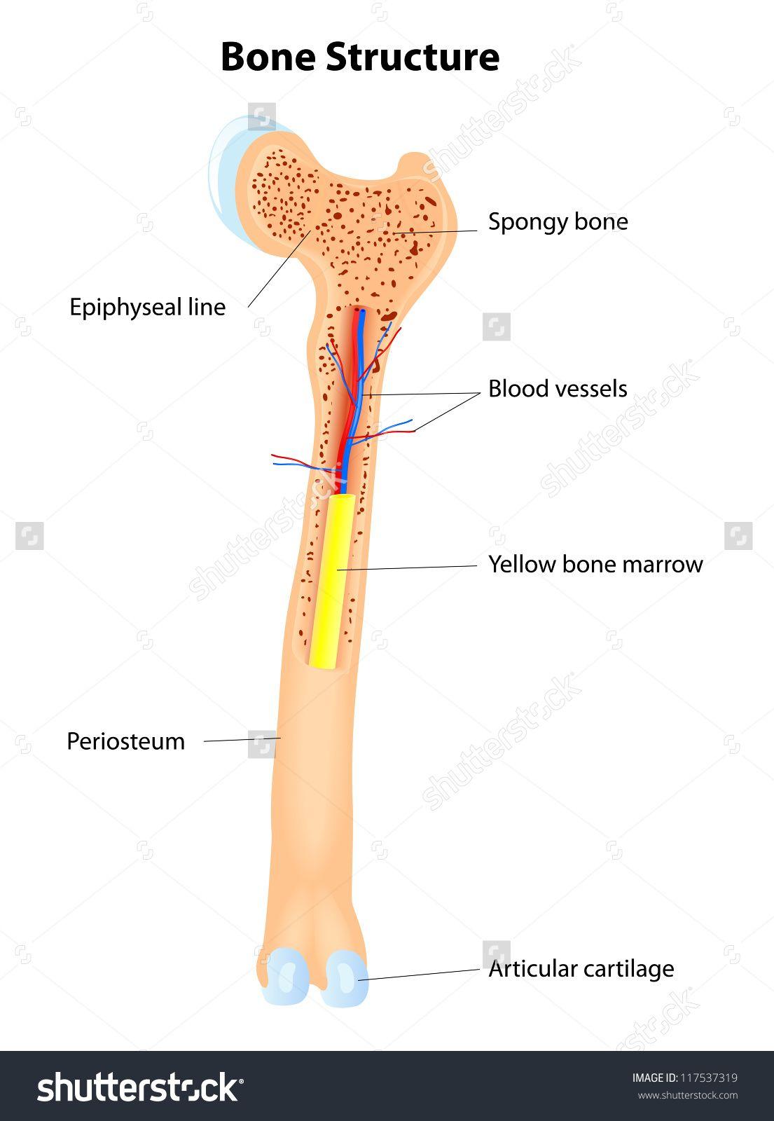 femur leg with bone marrow   Human Bone Marrow Clipart Anatomy Of ...