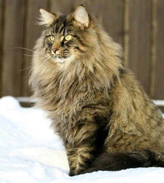 Nieuw Noorse Boskat | Animals | Cats, Norwegian forest cat, Forest cat FM-61