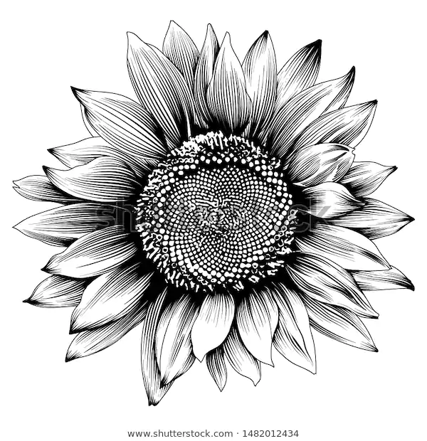 Sunflower Illustration Engraved Vintage Style Vector 库存矢量图