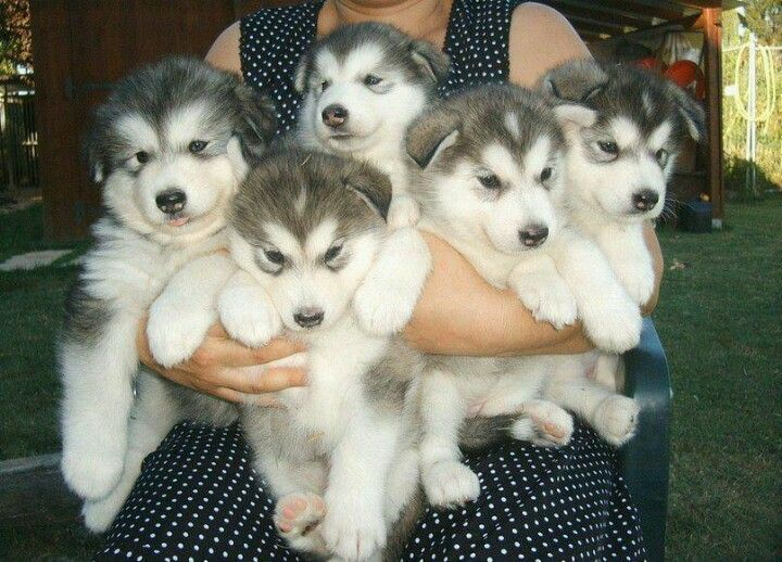 My Grandfather Used To Raise Huskys In Arkansas Weird I Know