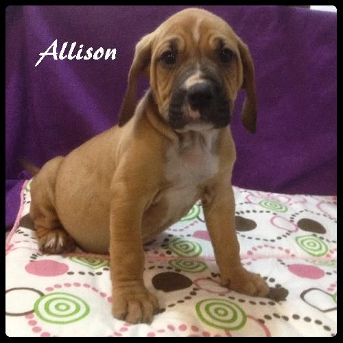 Adopt Allison On Animal Shelter Boxer Mix Bloodhound