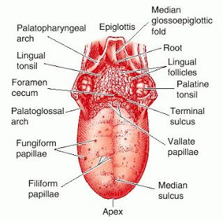 human taste buds diagram rv water pump wiring tongue label all data labeled of the is a muscular bud