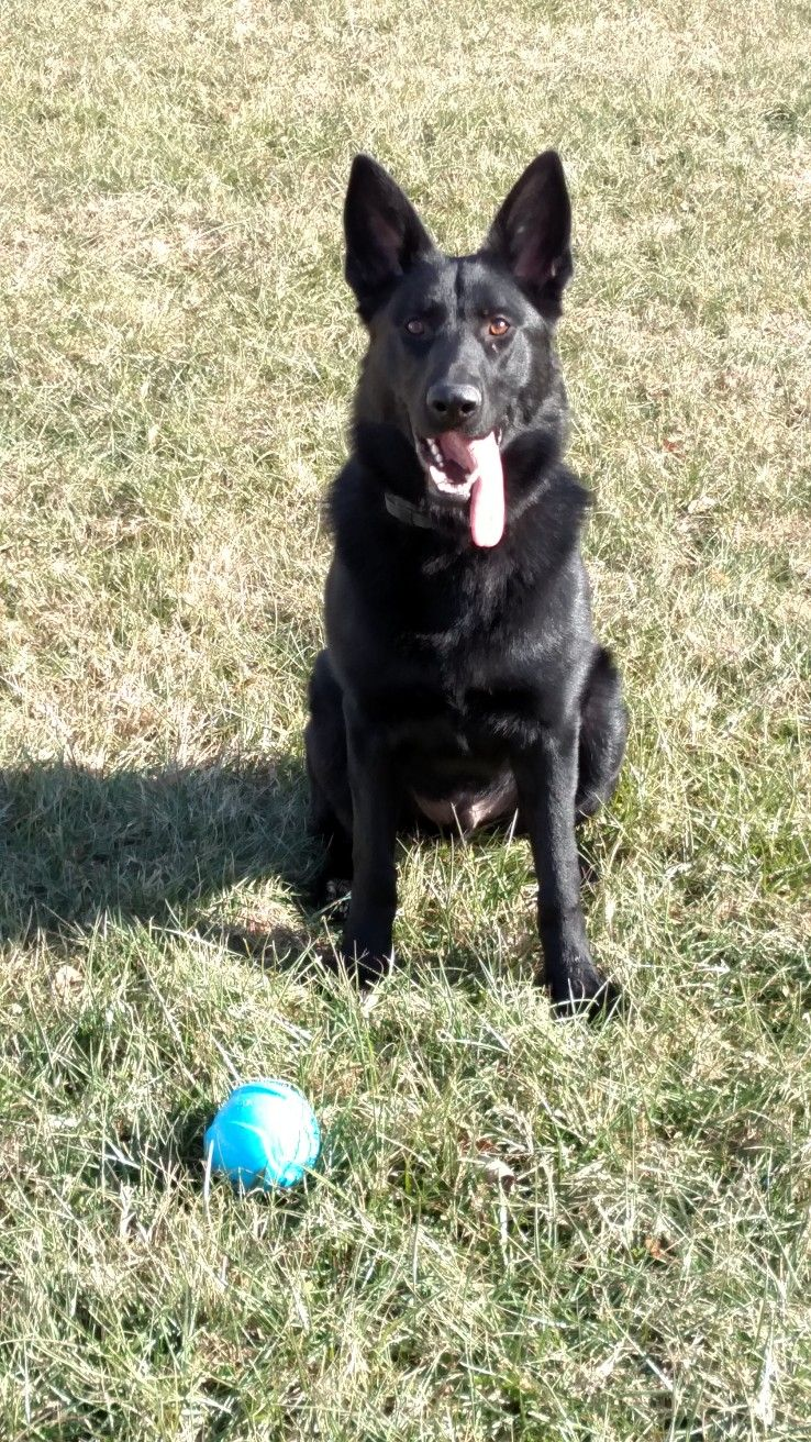 Gsdranger german shepherd puppies black german