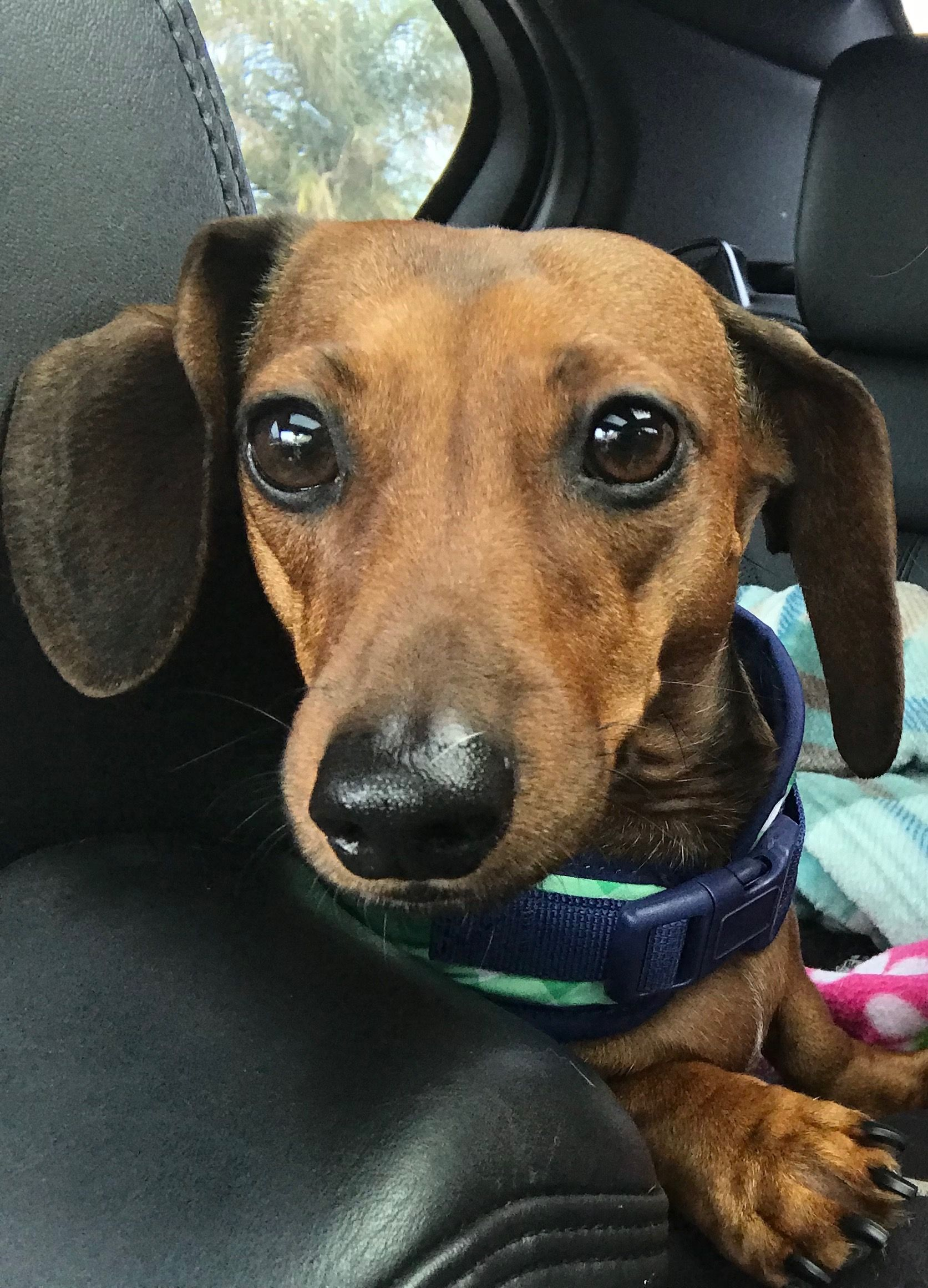 Hey Dad Petsmart Is Right Up There So Don T Pass It Because I Have Some Money To Spend On One Of My Favorite Weenie Dogs Weiner Dog Dachshund Puppies