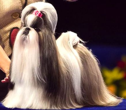 Shih Tzu Affectionate And Playful Shih Tzu Dog Show Shih Tzu Dog