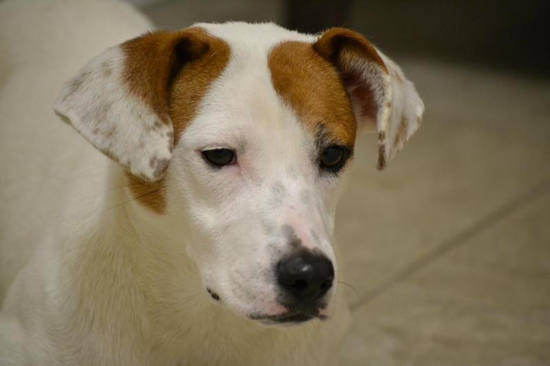 Adopt tess on petfinder pitbull mix puppies boxer dogs