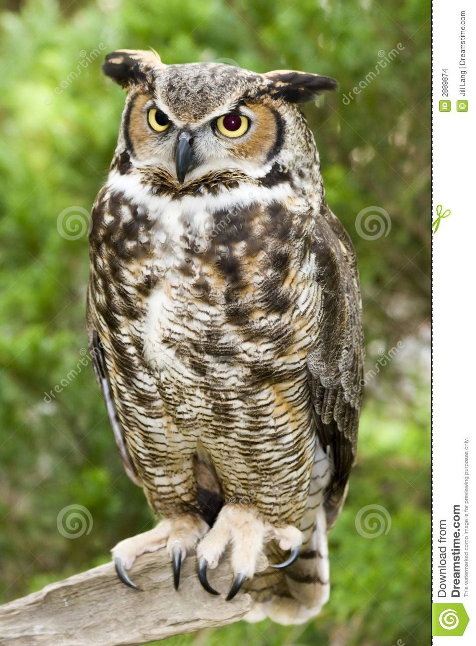 great horned owl download from over 50 million high quality stock