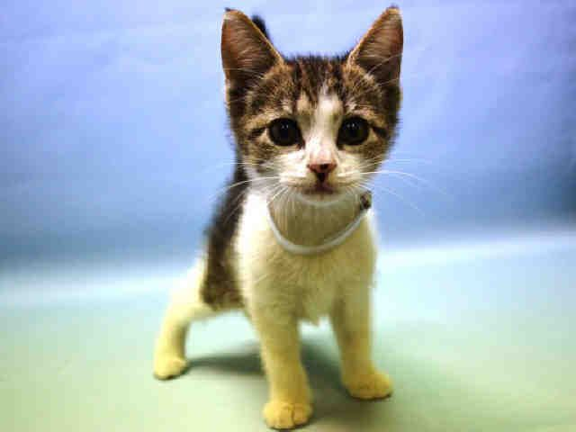 April A1086725 Cat Adoption Tabby Animal Rescue