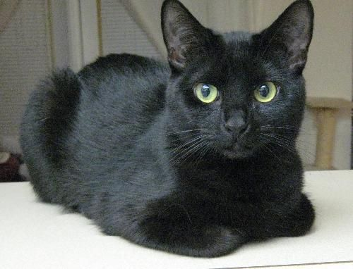Midge An Adoptable Siamese Mix In Austin Tx She Is Looking For A Home And Her Own Person Crazy Cats Christmas Cats All Black Cat