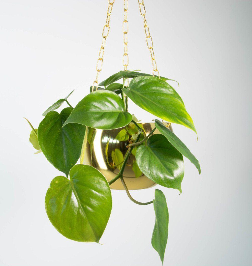 Philodendron scandens (Klätterkalla) | Plants | Pinterest ...