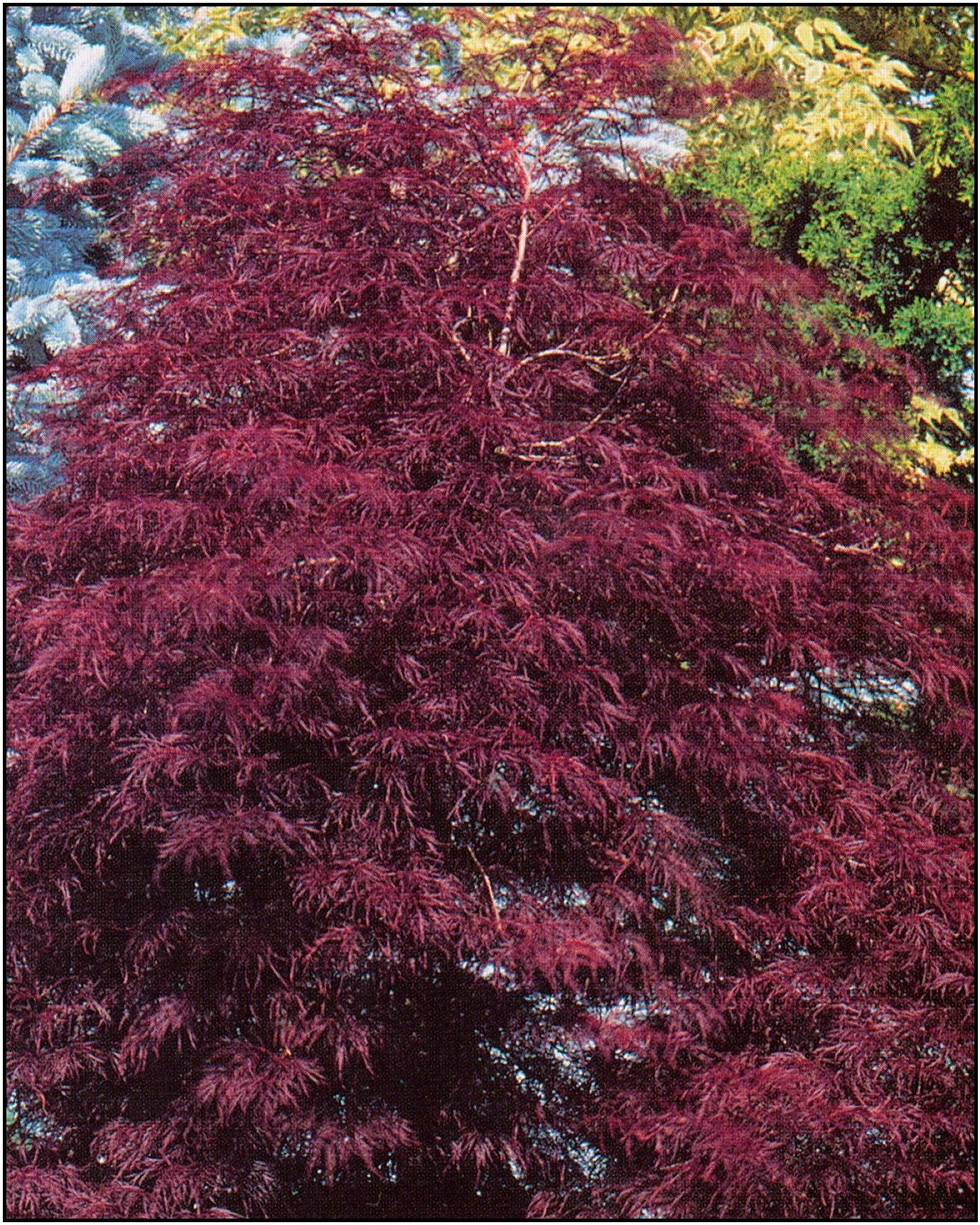 Tamukeyama japanese maple 2m high wide a cutleaf Japanese maple leaf