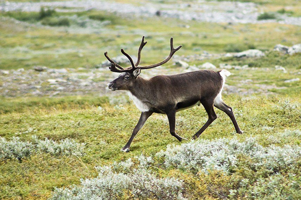 Reindeer In 2020 Deadly Animals Reindeer Animal Facts