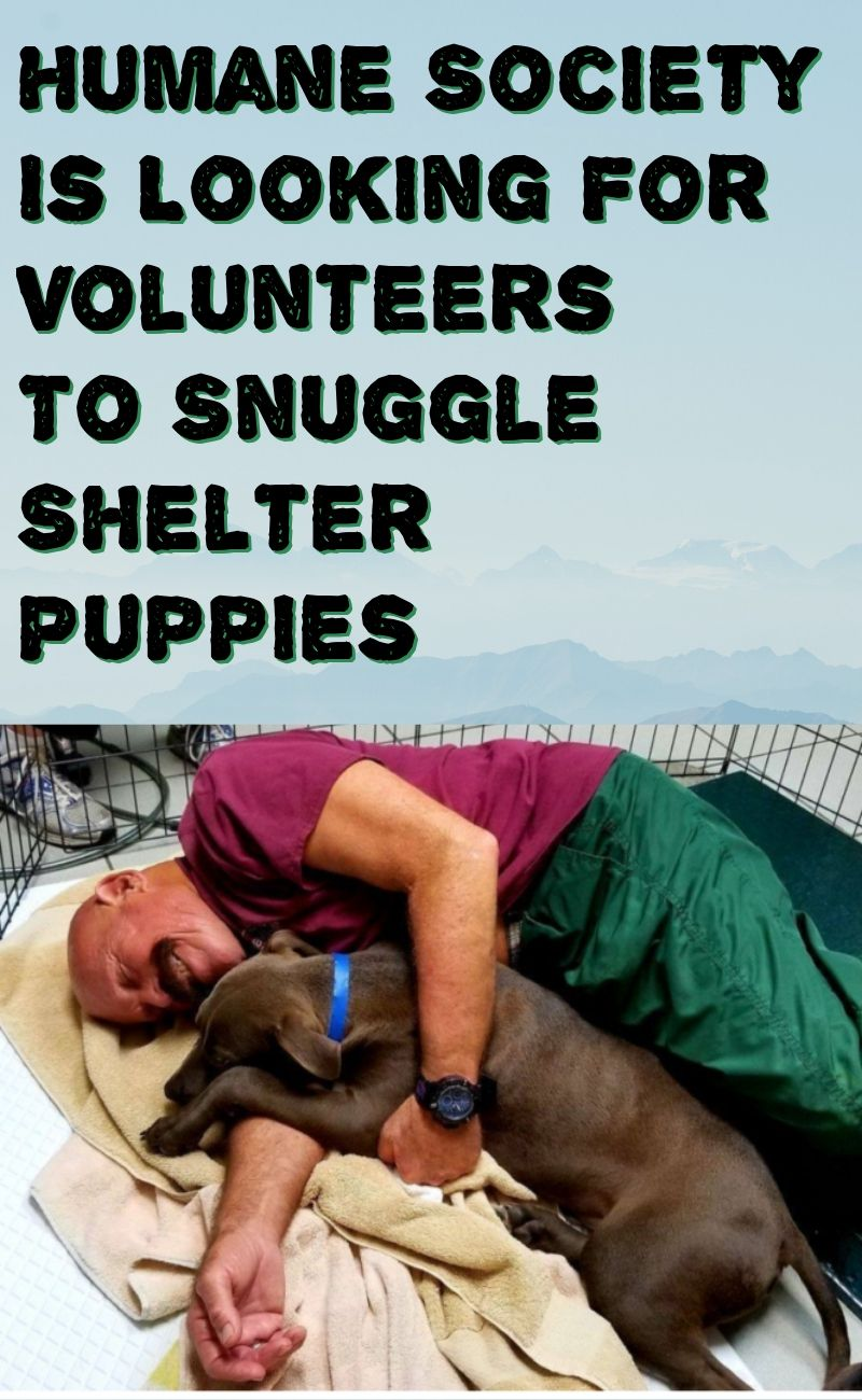 Humane Society Is Looking For Volunteers To Snuggle Shelter Puppies Puppy Funny Memes Shelter Puppies Puppies