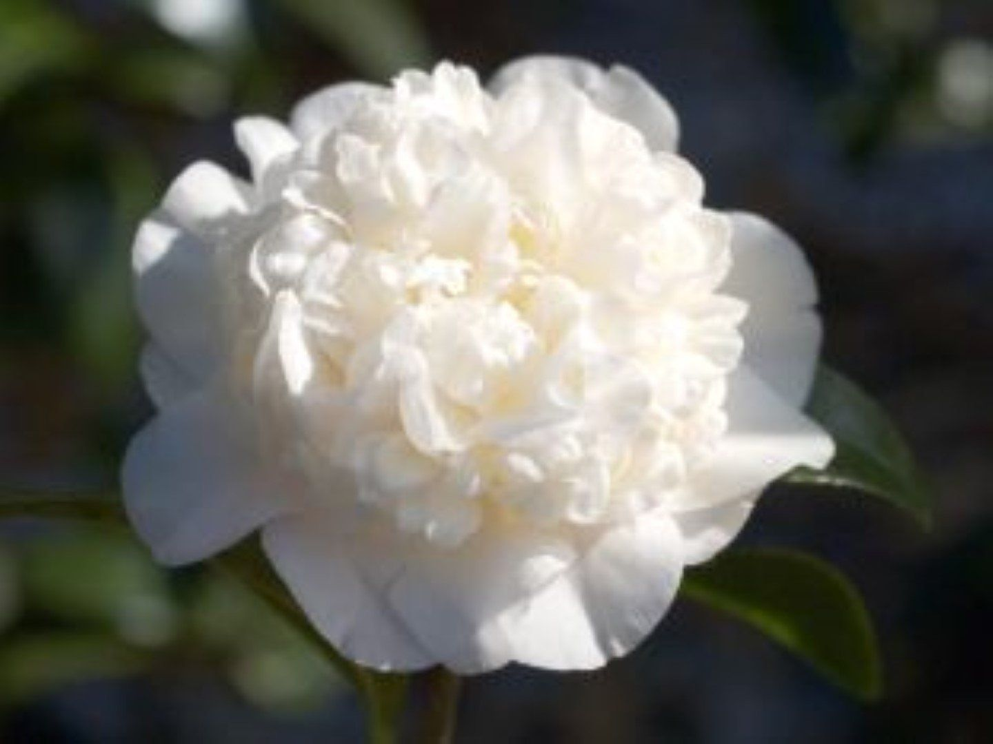 Man Size Growing Peonies Japonica Camellia