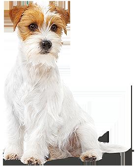 Rewelacyjny Buldog francuski | Charakterystyka i Opis Rasy Psa - Royal Canin HX81