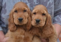 Pedigree Golden Er Spaniel Boys And S Puppies For English