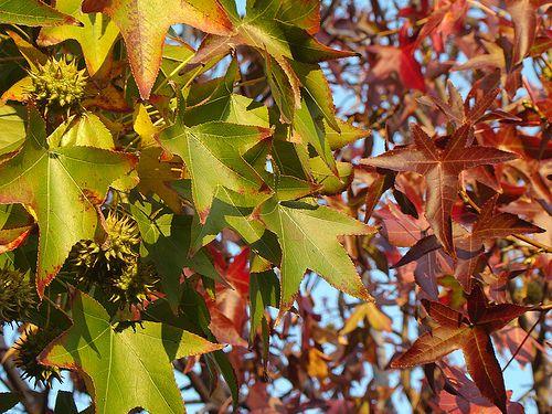 My Fav Tree The Sweet Gum Tree Liquidambar Styraciflua Very Pretty Star Shaped Leaves Pretty Colors In The Fall Their Fruit Plant Leaves Sweet Gum Pretty Star