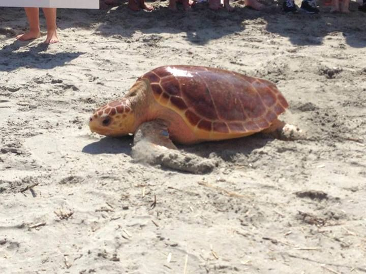 Sea Turtle release Isle of Palms 2013 I got to see this in 2013, it was awsome.