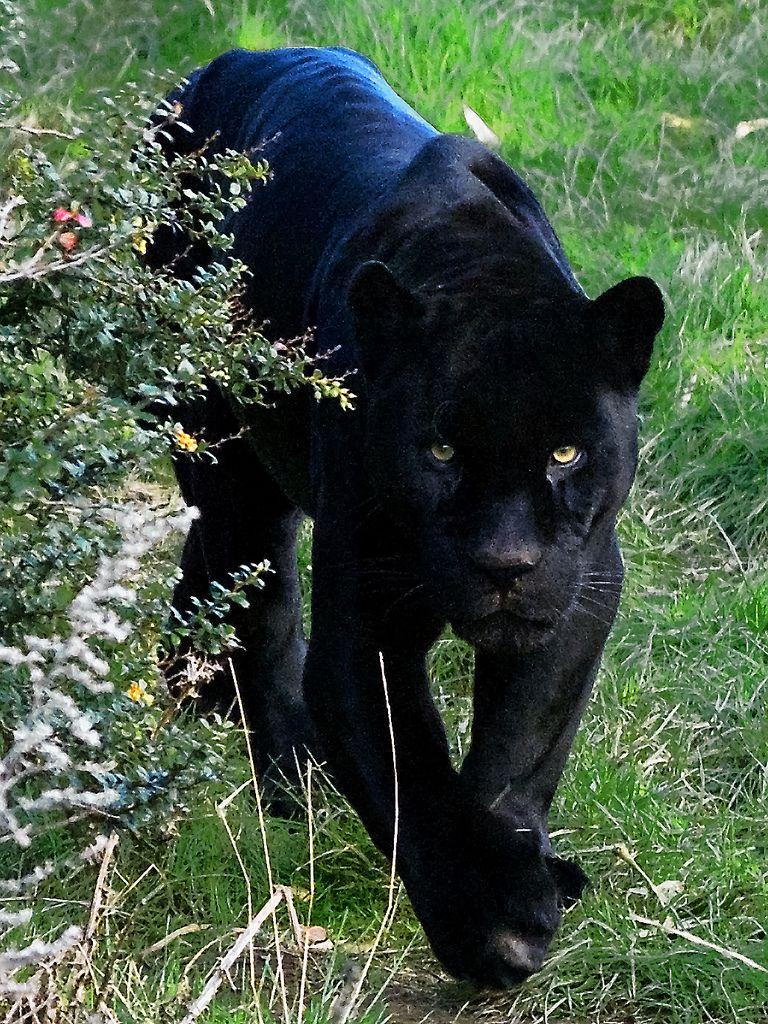 Black Jaguar Felinidae Black Cats Black Jaguar Cats Animals