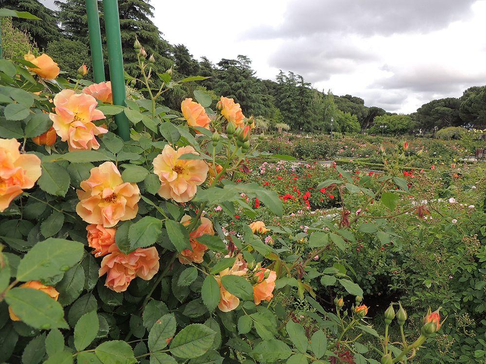 Rosas en mayo de la Rosaleda. Información sobre rosaledas del mundo: http://www.elhogarnatural.com/reportajes/Rosaleda.htm