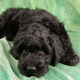 Giant Schnoodle Purebred Puppies Dog Breeder Schnoodle Dog Schnoodle Schnoodle Puppies For Sale