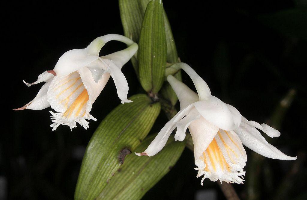 Dendrobium longicornu