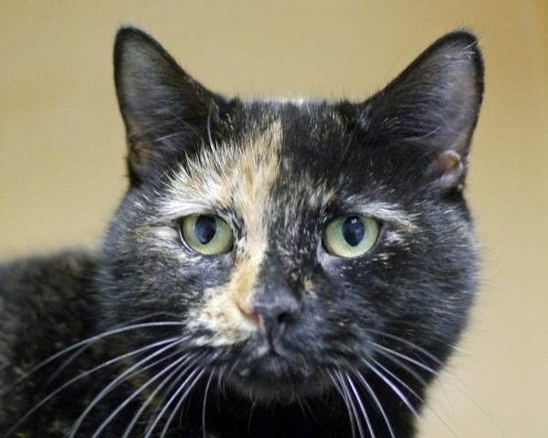 Adopt Roxie On Petfinder Cats Tortoise Shell Cat Animals