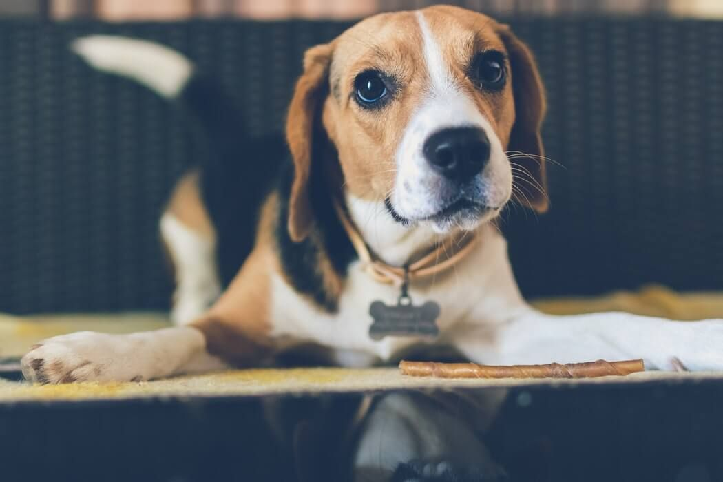 Why Do Dogs Chase Their Tails Training Your Dog Dog Breeds