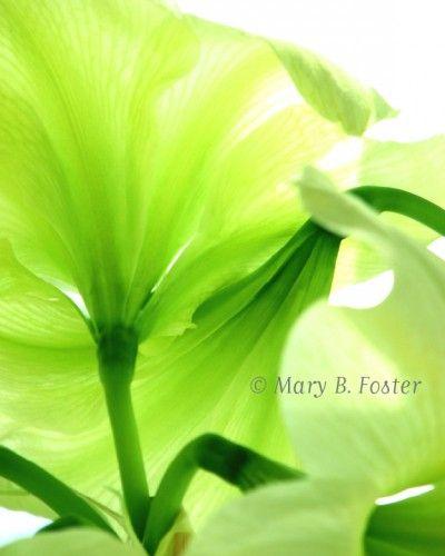 Lemon Lime Amaryllis Flower 8x10 Fine Art Photograph by Mary Foster Creative @ArtFire