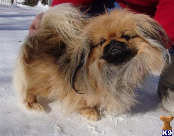 Pekingese Stud Dogs Listing Pekingese Dogs Pekingese Stud Dog