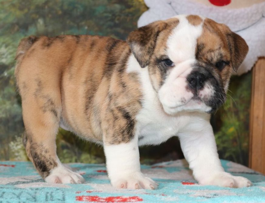 Cookie Is A Brindle Female English Bulldog Puppy With Champion
