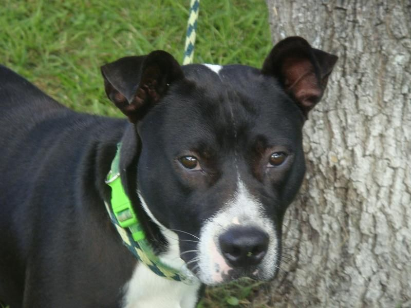 Wally American Staffordshire Terrier Mix Young Male Medium
