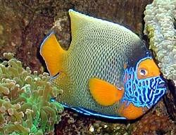 Photos Of The Blueface Angelfish Pomacanthus Xanthometopon Natur
