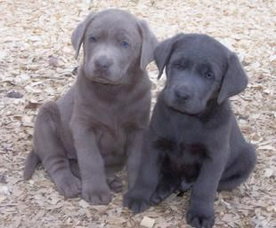 Charcoal And Silver Labs Charcoal Lab Puppies Lab Puppies