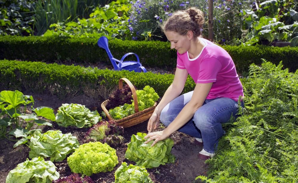 Salat Hat Immer Saison! | Hüte Frische Salate Eigenen Garten Ernten