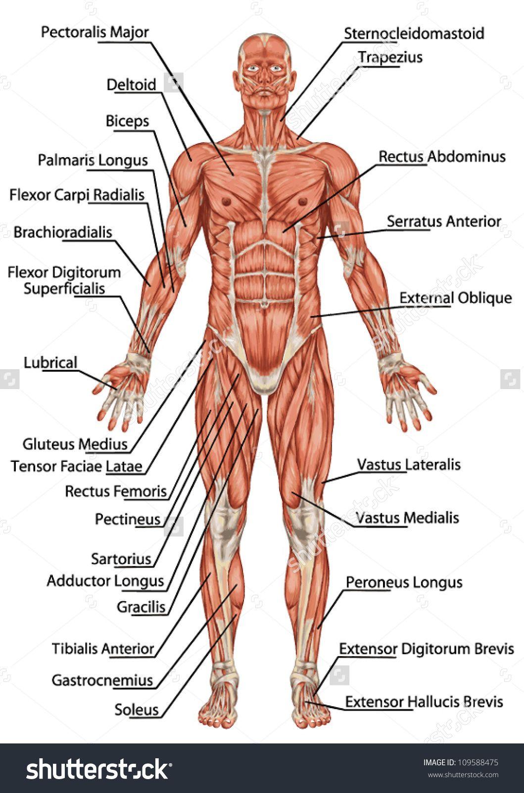 Man Muscular System Diagram - Electrical Work Wiring Diagram •