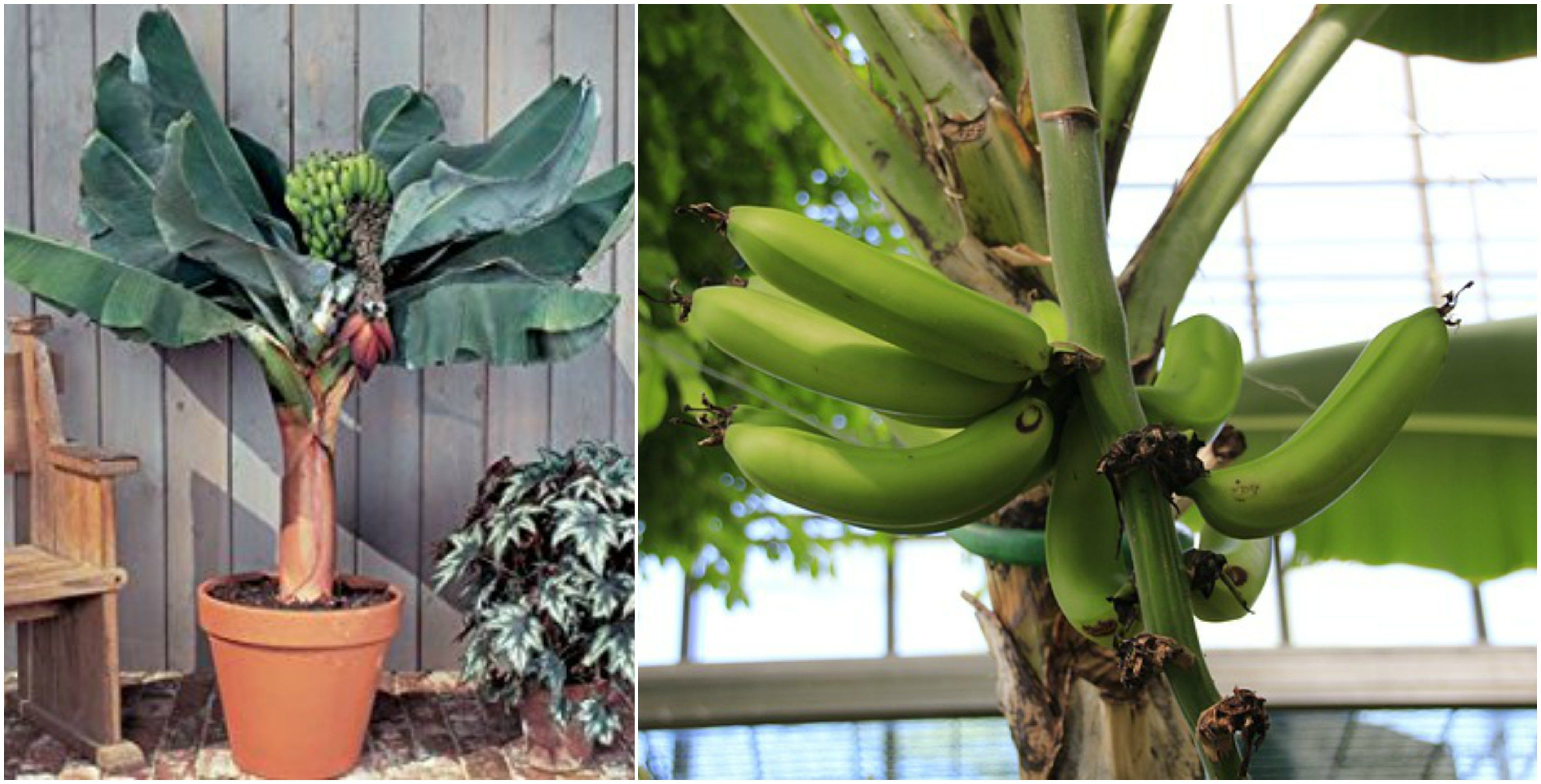Banana plant indoor with a dwarf banana tree information about
