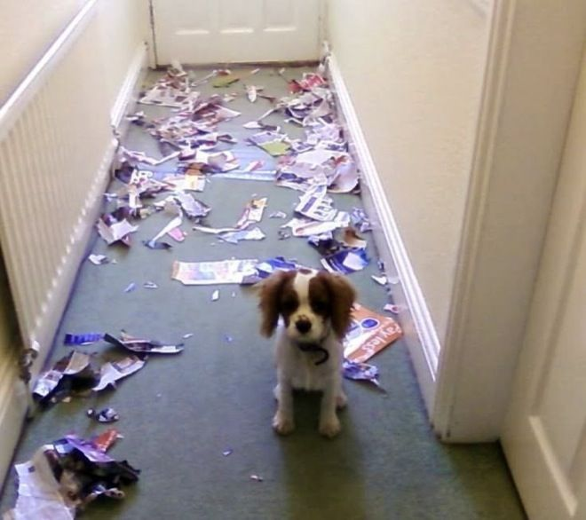 Funny Photos Of Guilty Dogs Whove Been Caught In The Act - 26 funny photos of guilty dogs