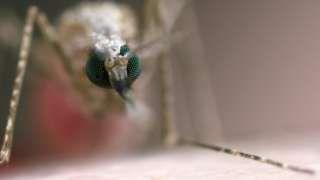 GM malaria vaccine 'milestone'