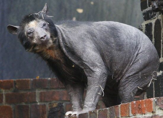 Hairless bear Dolores