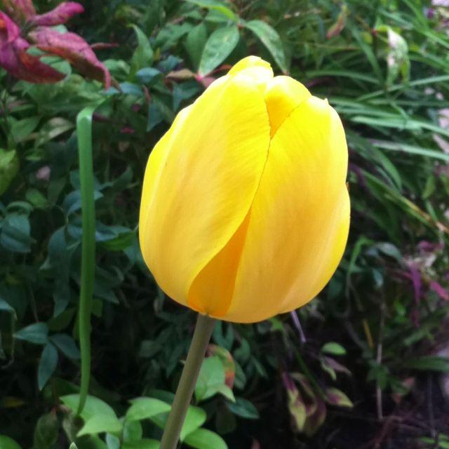Yellow Tulipthe Symbol Of Hopeless Love Language Of Flowers